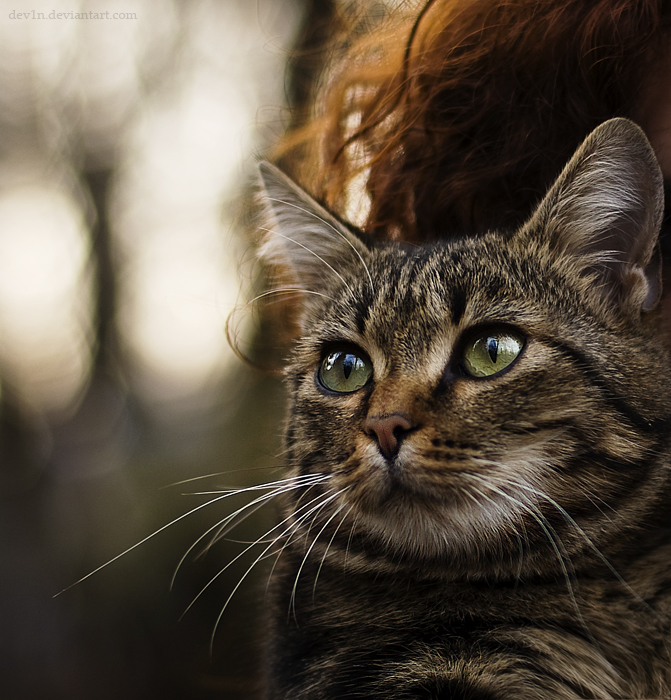 Gros plan d'un chat type européen