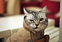 Chat en manteau