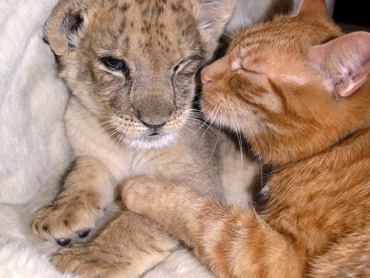 Amitié entre chat et lionceau
