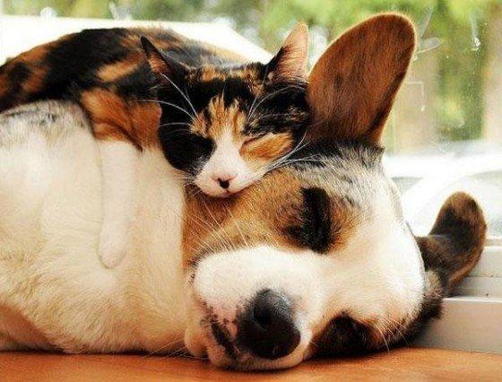 Chat qui dort sur un chien