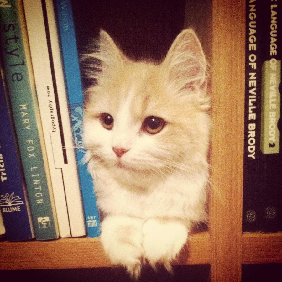Chat caché dans la bibliothèque