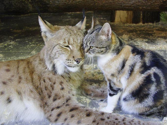 Dusja le chat et Linda le lynx
