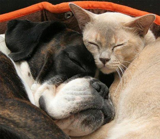 Sieste entre chat et chien